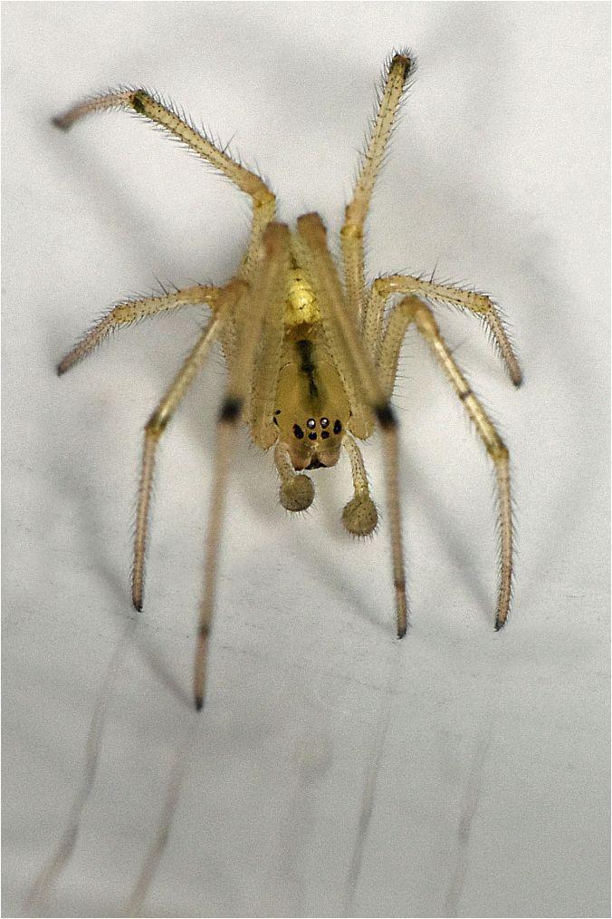 Theridiidae_2 [Enoplognatha sp.] Enoplo10