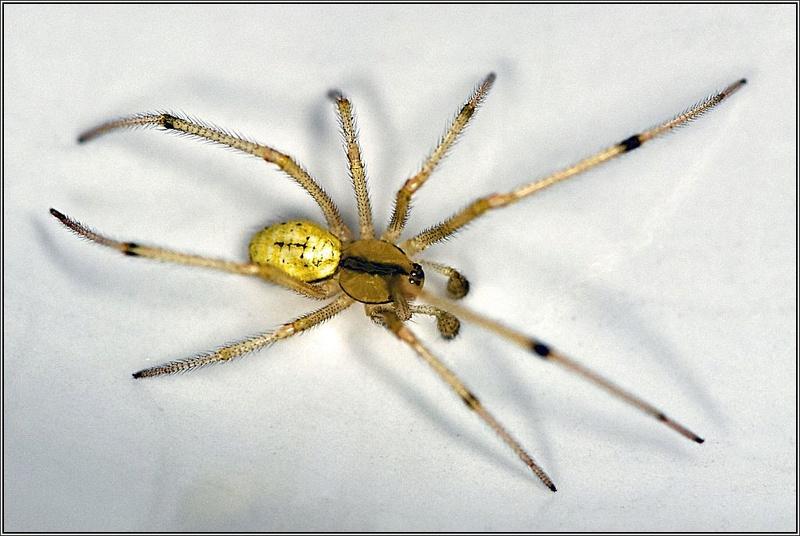 Theridiidae_2 [Enoplognatha sp.] Enoplo11