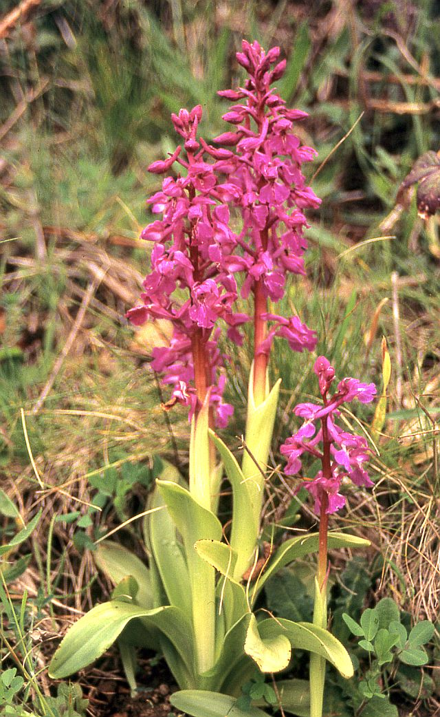 [Orchis mâle (Orchis mascula)] ID orchidée Orchis10