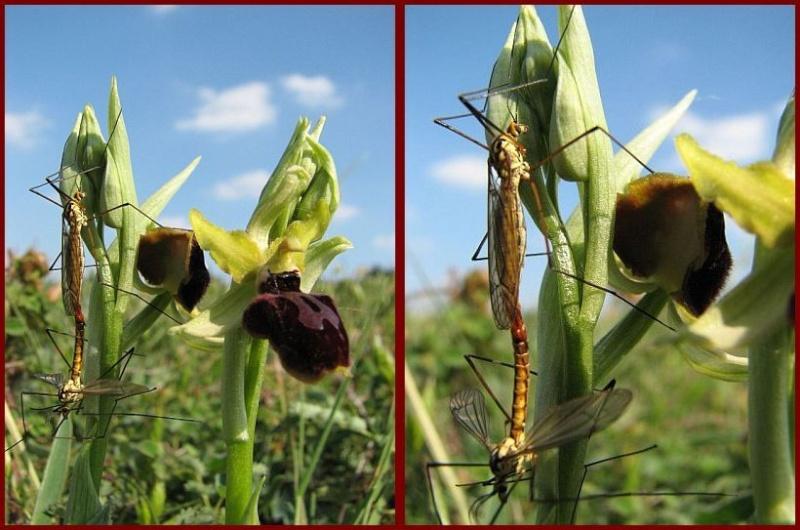 Moment de bonheur sur ophrys P2210
