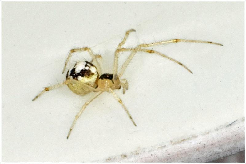 Theridiidae Therid13