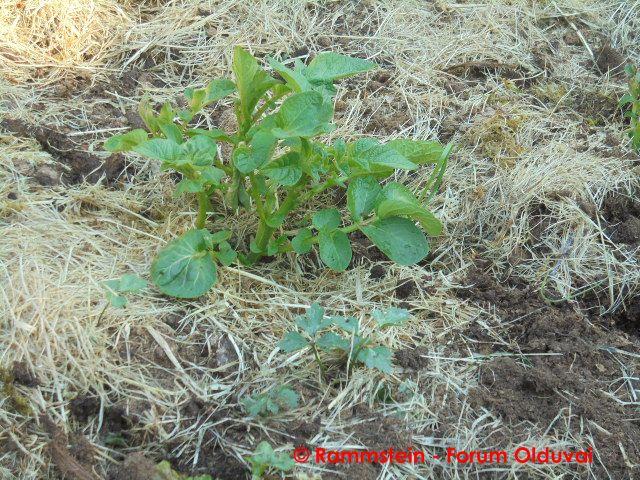 [Jardinage] Culture en bacs et Hügelkultur Dsc02812