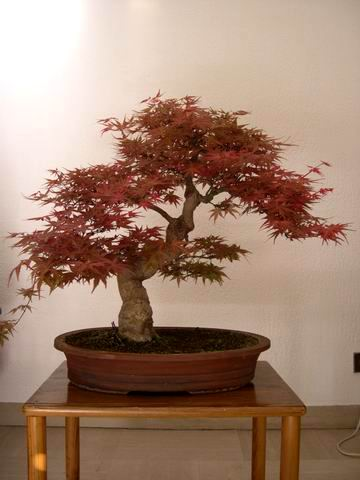 Acer palmatum seigen Re-exp11