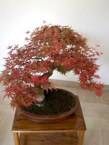 Acer palmatum seigen Re-exp12