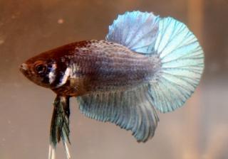Mon poisson va mal (je croit)/traits sur les joues 191010