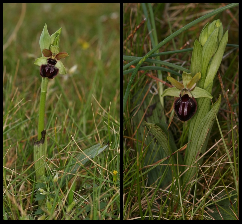 Ophrys passionis Pas10