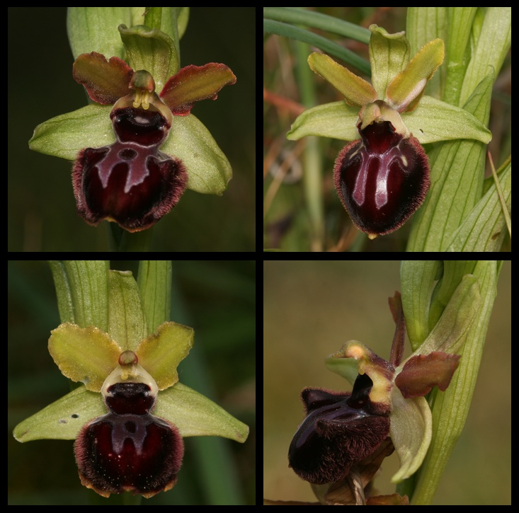 Ophrys passionis Pasf10
