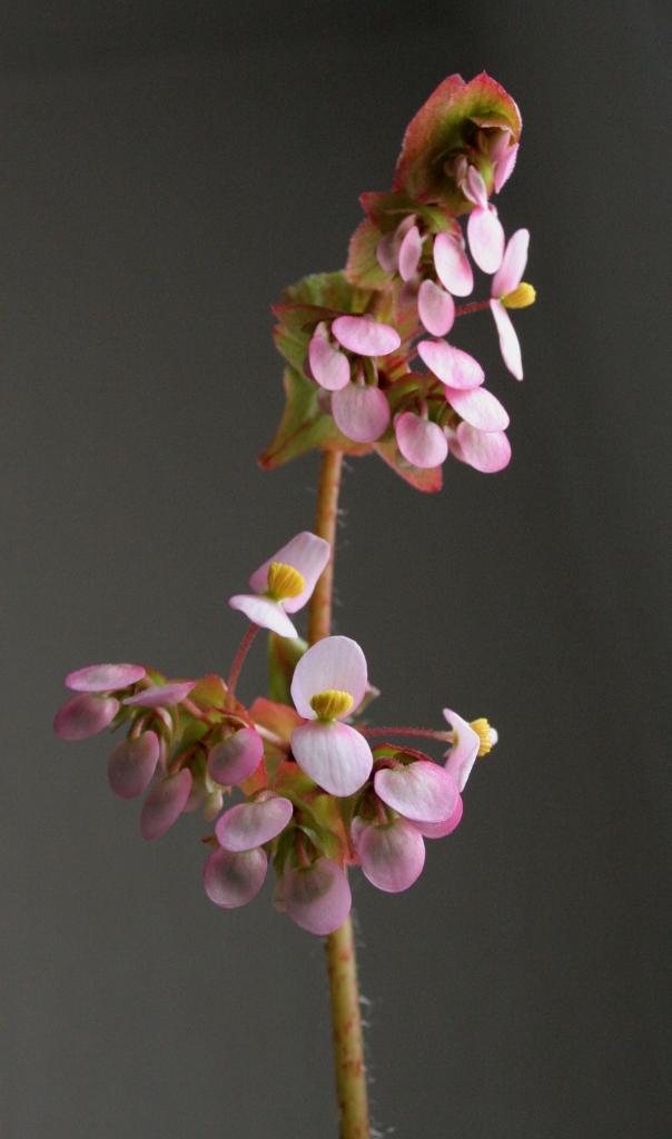Begonia heracleifolia (rhizomateux)* Img_1110