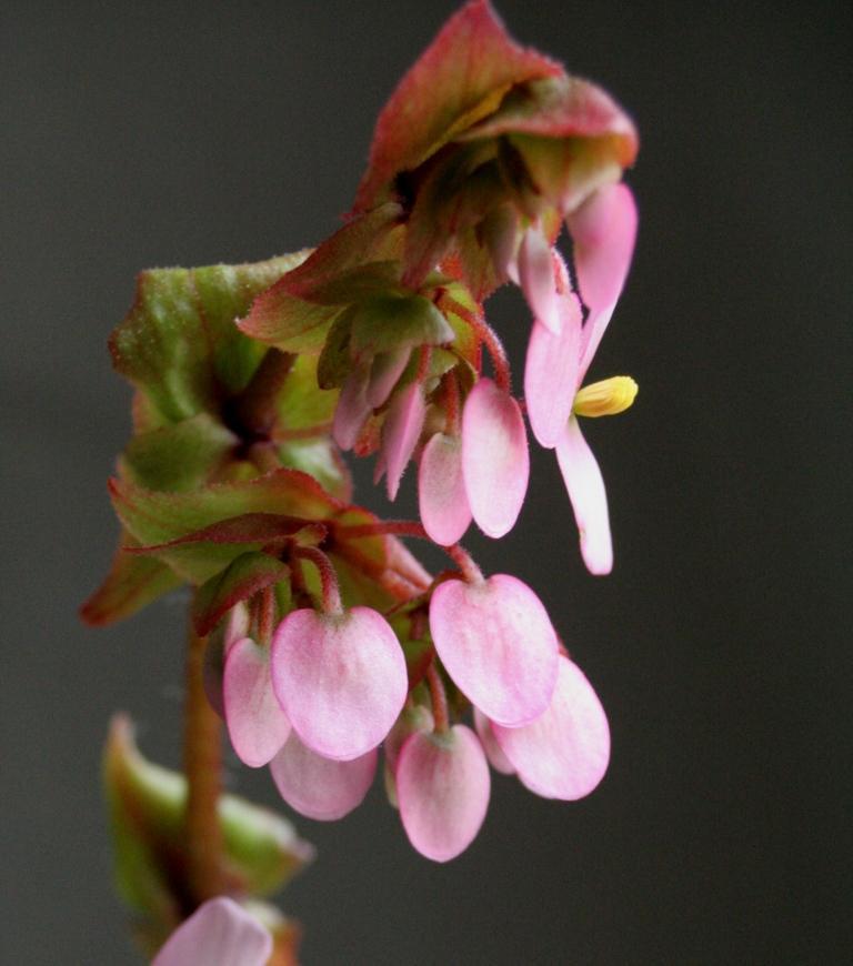 Begonia heracleifolia (rhizomateux)* Img_1111