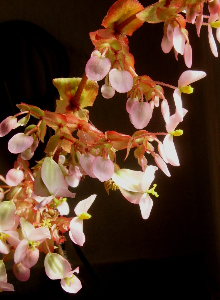 Begonia heracleifolia (rhizomateux)* Imgp2512