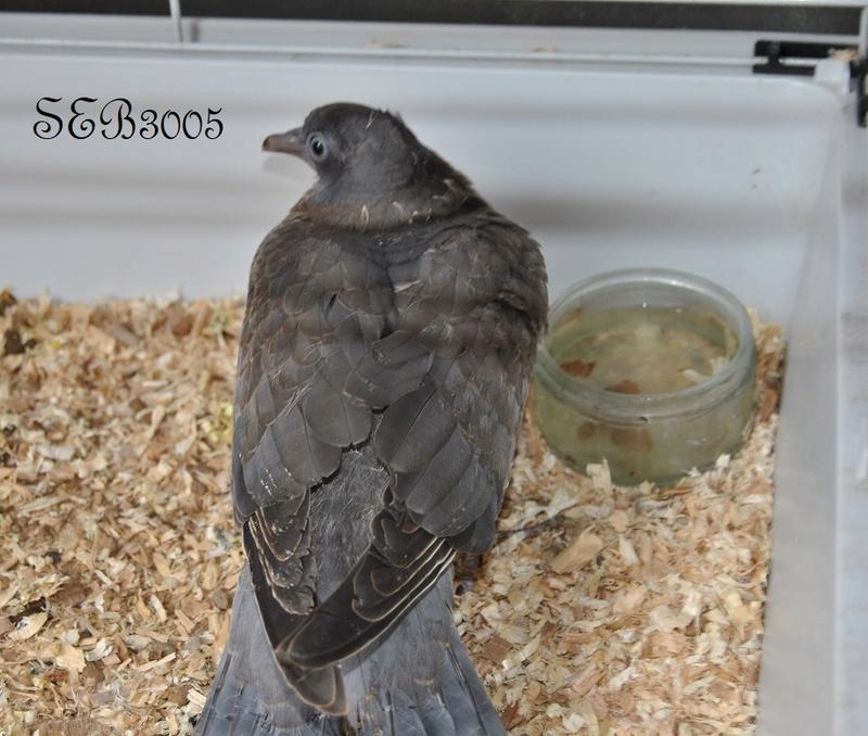 Pigeon Ramier  - Page 2 Dsc_0011
