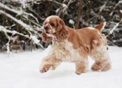 Bien-être des chiens en hiver.  Chien-12