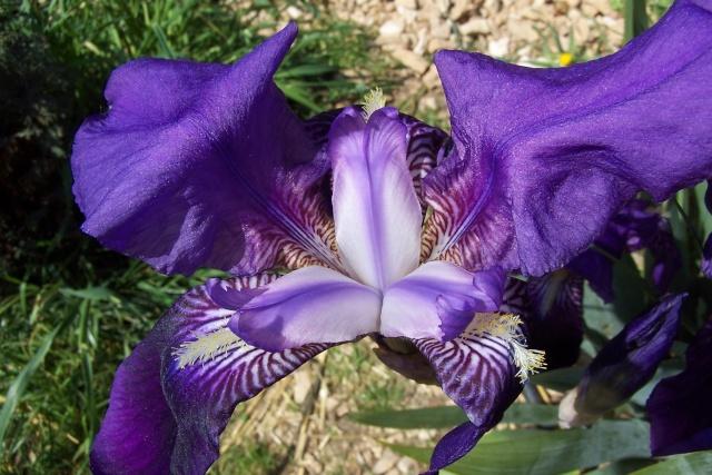 Iris de Hollande 100_5641