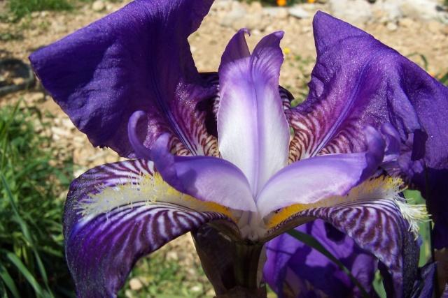 Iris de Hollande 100_5642