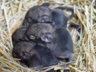 Les hamsters et octodons & les écureuils de corée Bbdegu10