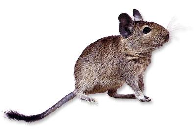 Les hamsters et octodons & les écureuils de corée Degu-410