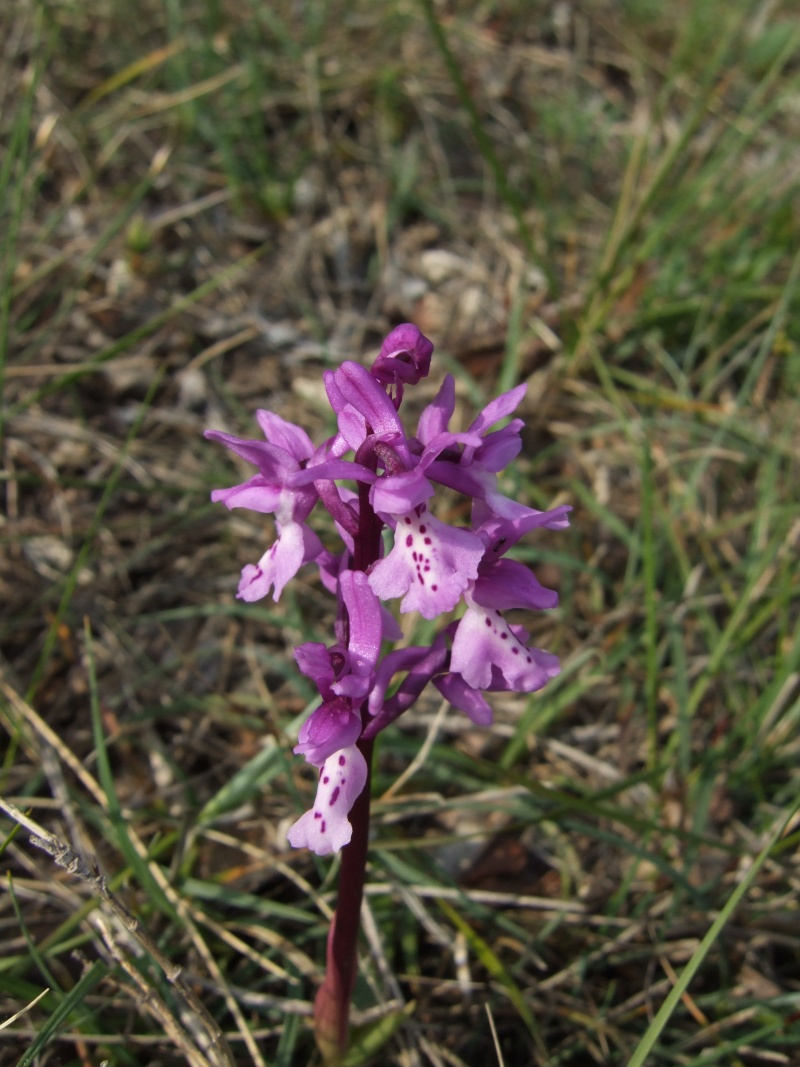 Orchis olbiensis ( Orchis d'Hyères ) O_olbi10