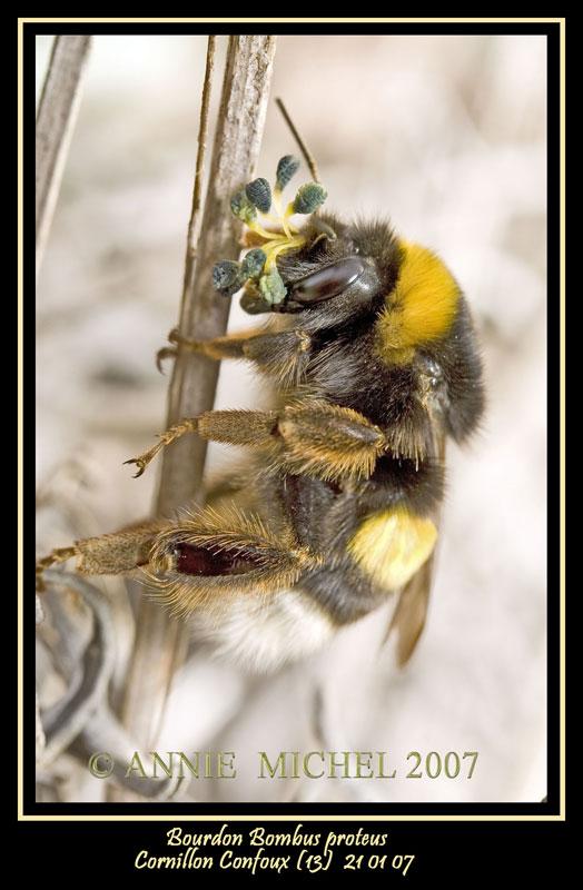 Bourdon Bombus proteus 20070111