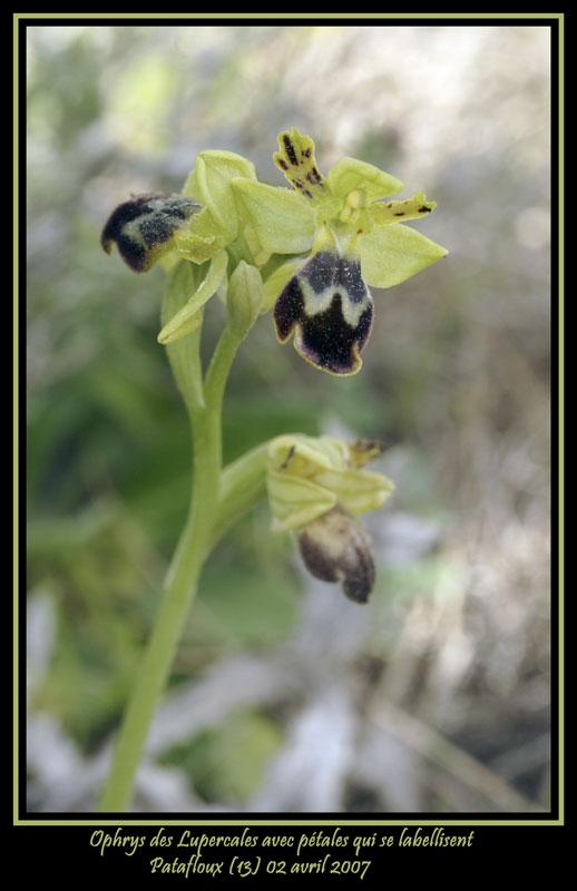 Ophrys des Lupercales avec pétales qui se labellisent 20070411