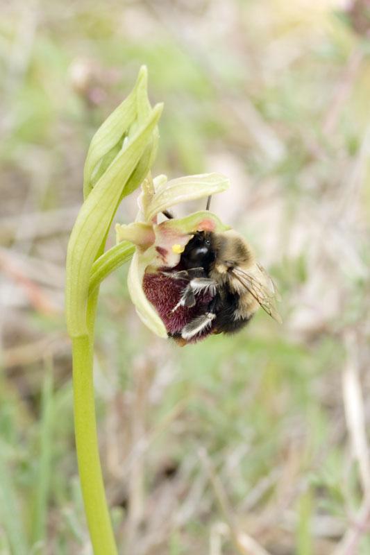 Pollinisateur sur Ophrys incubacea 20070426