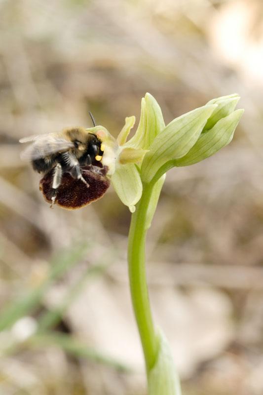 Pollinisateur sur Ophrys incubacea 20070430