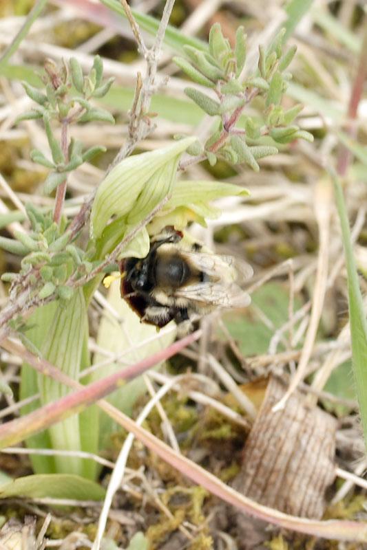Pollinisateur sur Ophrys incubacea 20070431