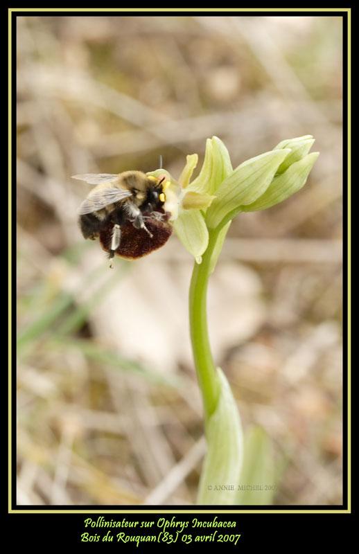 Pollinisateur sur Ophrys incubacea 20070433