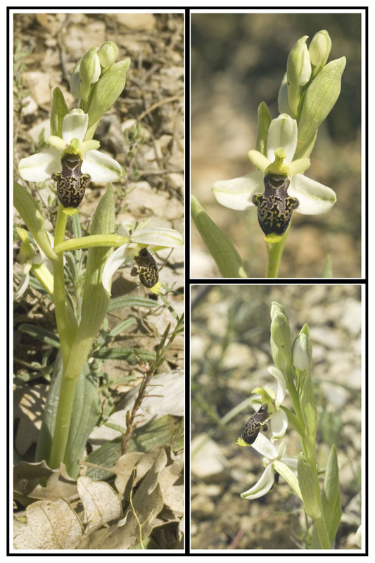 Ophrys philippi Cadrex11