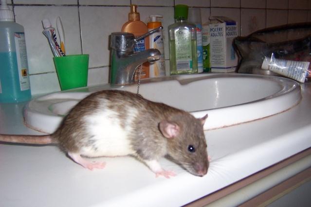 race et couleurs de mes rattes? Twiste44