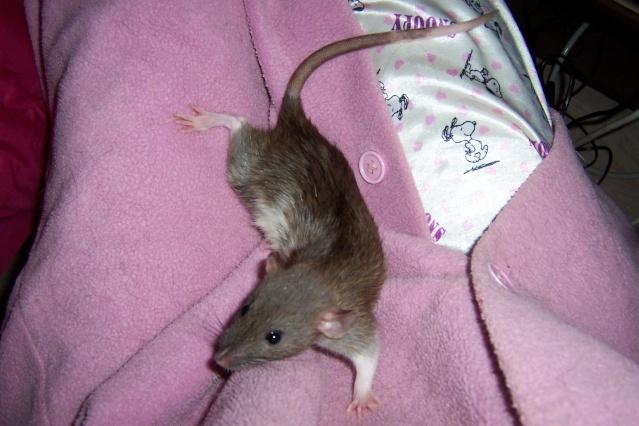 race et couleurs de mes rattes? Twiste50