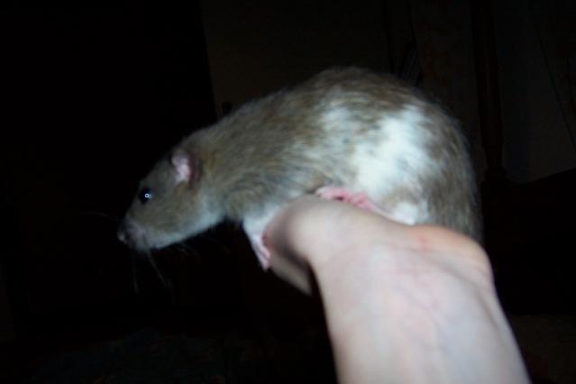 race et couleurs de mes rattes? Twiste52