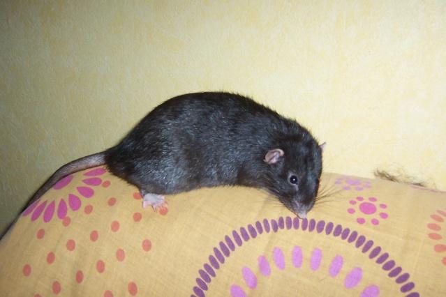 race et couleurs de mes rattes? Twiste53