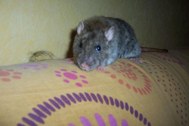 race et couleurs de mes rattes? Twiste57