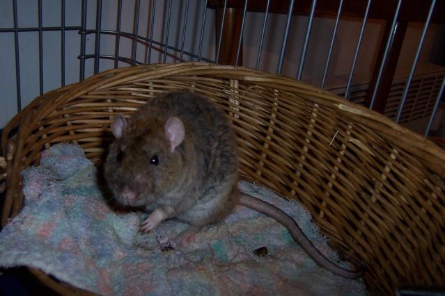 race et couleurs de mes rattes? Twiste76