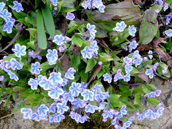 Omphalodes cappadocica Starry10