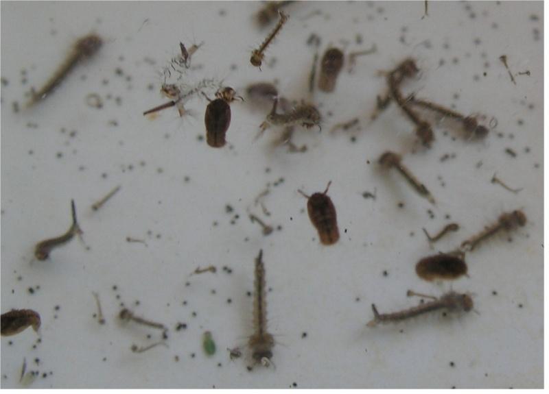 est-ce bien des larves de moustiques? Gros_p10