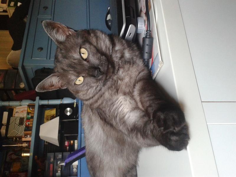 LIXOU, jeune chat européen, robe smoke, né en janvier 2015 20170611