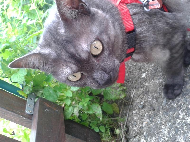 LIXOU, jeune chat européen, robe smoke, né en janvier 2015 20170612