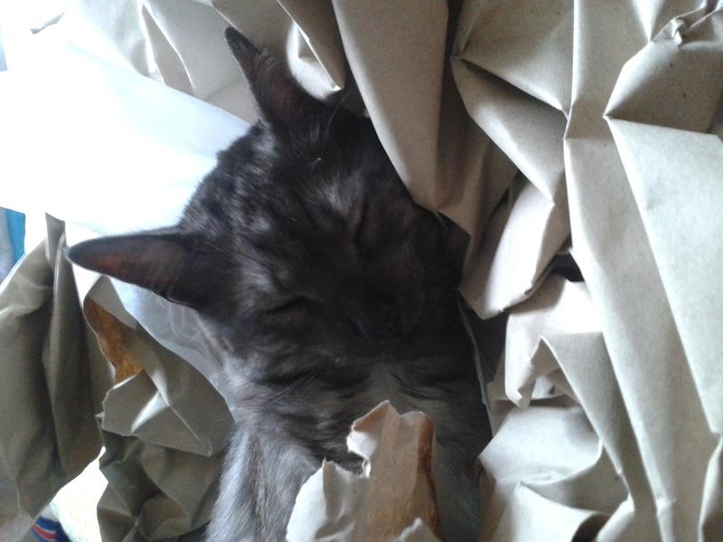 LIXOU, jeune chat européen, robe smoke, né en janvier 2015 20170711