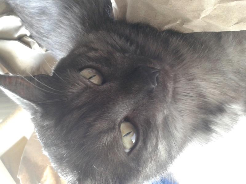 LIXOU, jeune chat européen, robe smoke, né en janvier 2015 20170712