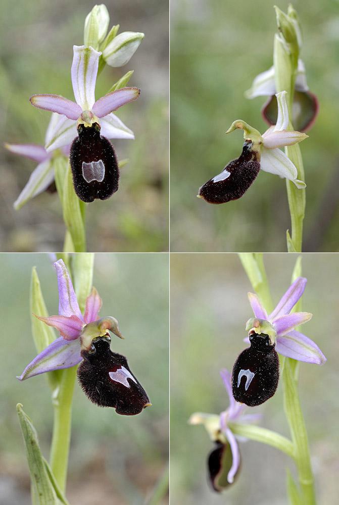Ophrys magniflora Mag110