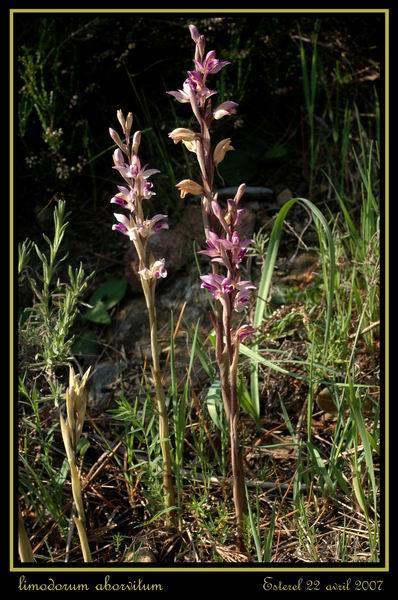 Limodorum abortivum  ( Limodore à feuilles avortées ) Rester11