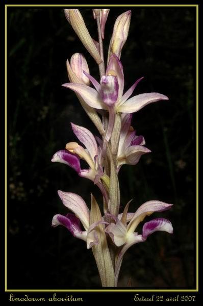 Limodorum abortivum  ( Limodore à feuilles avortées ) Rester12