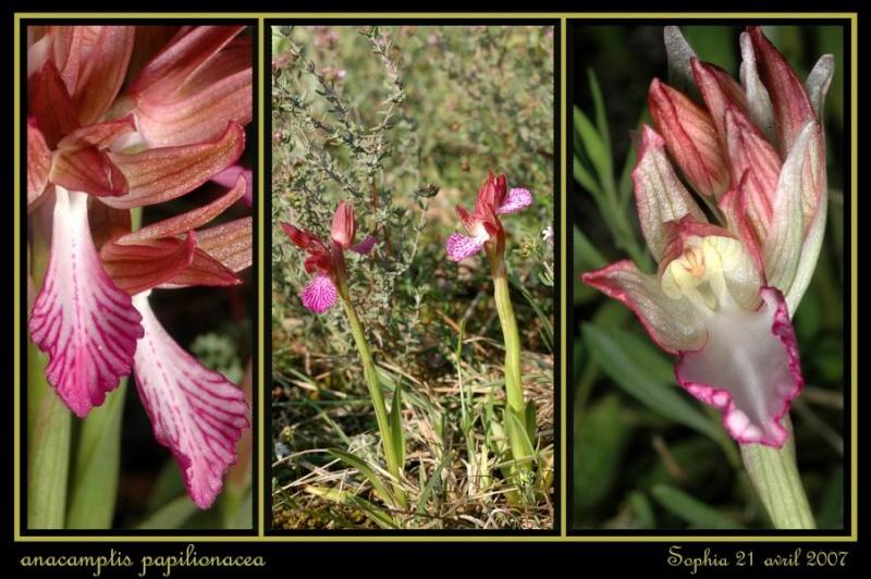 Anacamptis papilionacea (Orchis papillon ) Rsophi15