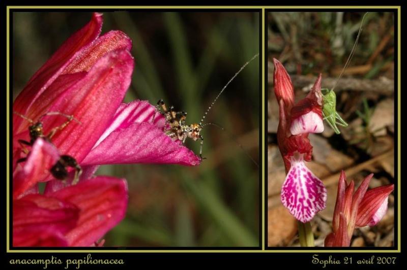Anacamptis papilionacea (Orchis papillon ) Rsophi16