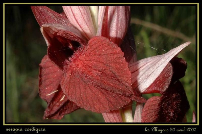 Serapias cordigera ( Sérapias en coeur ) Rvar_026