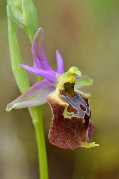 Orchidées et ambiances florales des Pouilles - Page 2 Apulic10
