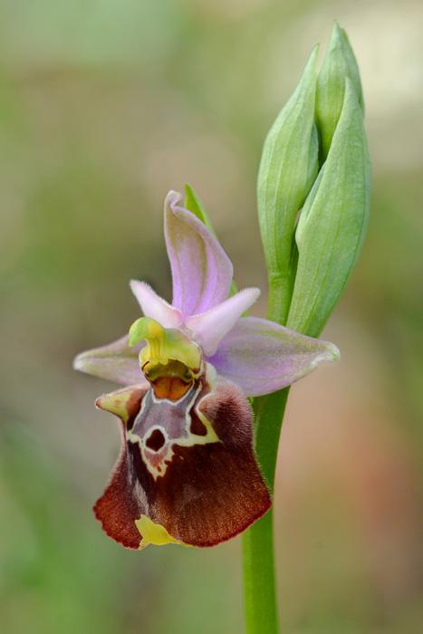 Orchidées et ambiances florales des Pouilles - Page 2 Apulic11