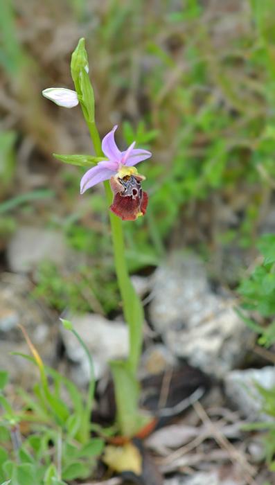 Orchidées et ambiances florales des Pouilles - Page 2 Apulic13
