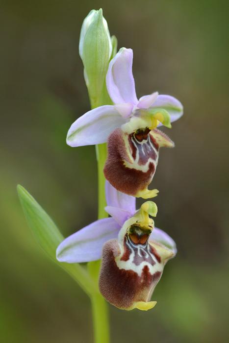 Orchidées et ambiances florales des Pouilles - Page 2 Candic10